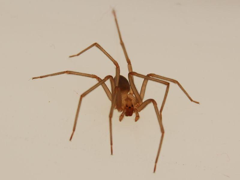 brown recluse removal las vegas
