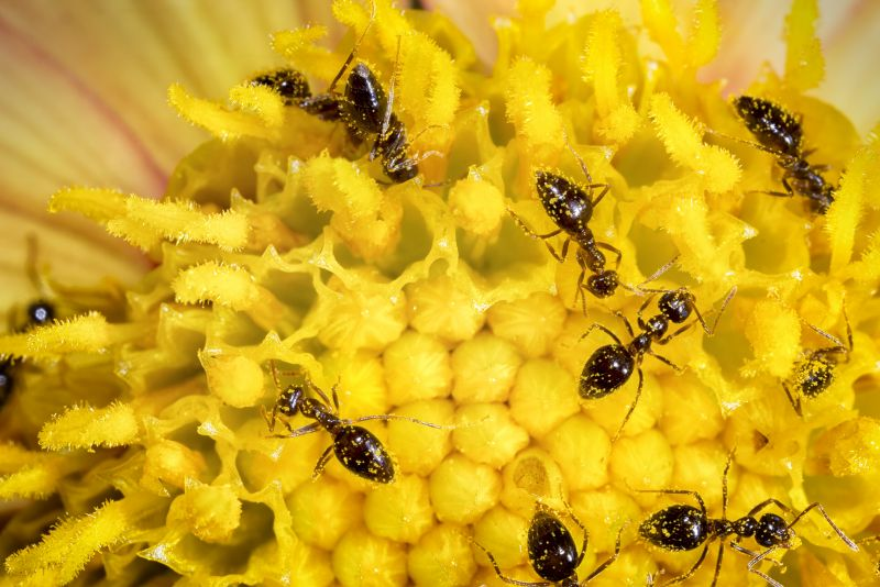 Exterminators, Ant, Exterminating, Black