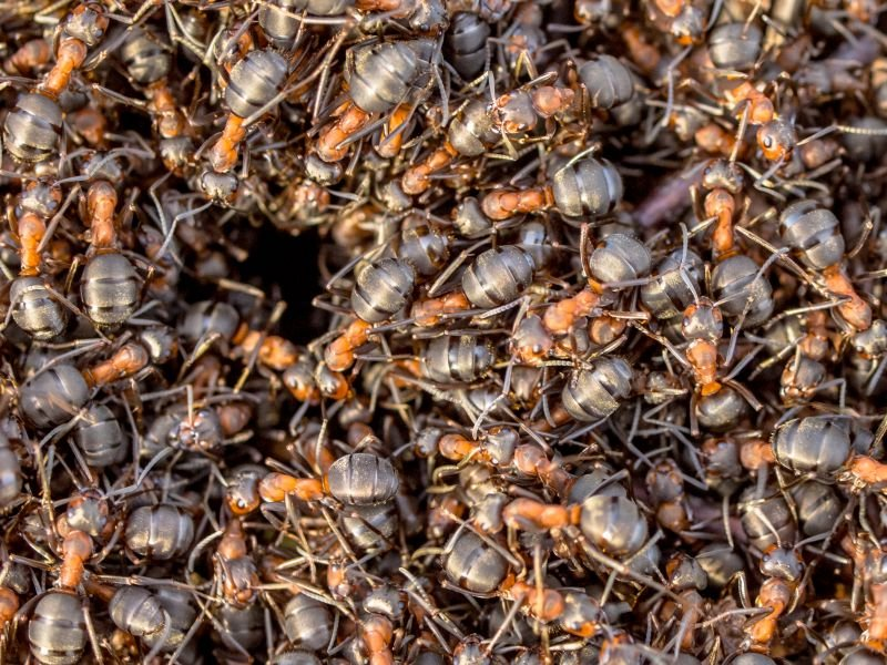 ant hill removal