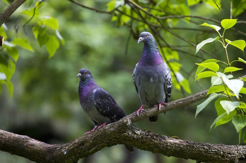 Pigeon Cleanup Las Veegas