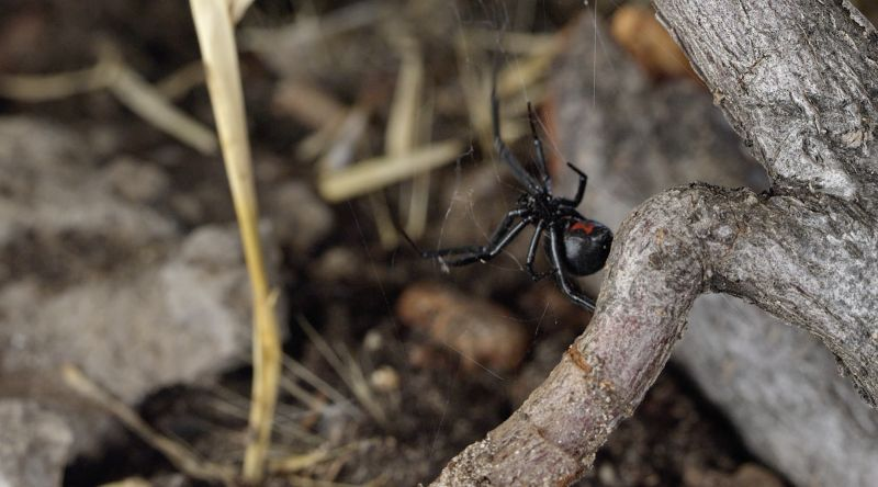 extermination of black widow spiders in nevada