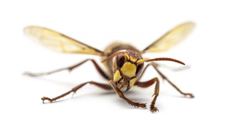 Hornet Removal from Green Wave Pest Solutions Mountains Edge NV