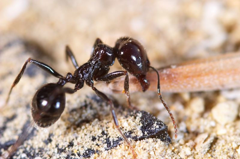 exterminating ants in las vegas nv