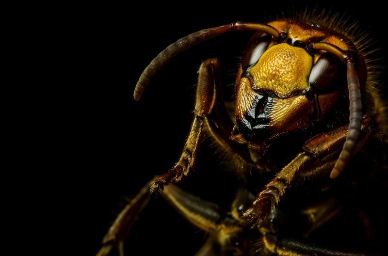 hornet extermination Green Wave Pest Solutions