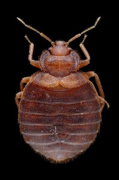 bed bug extermination in Mountains Edge las vegas NV