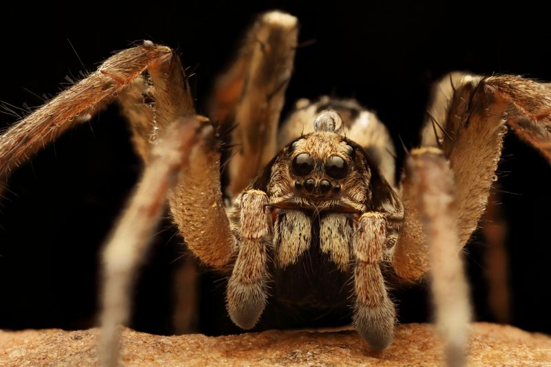 Wolf Spider, Removal, Exterminators, Control