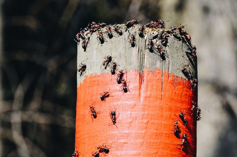 ant extermination in mountains edge nv